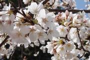 冬去春来,漫山樱花开,土地生出梦想